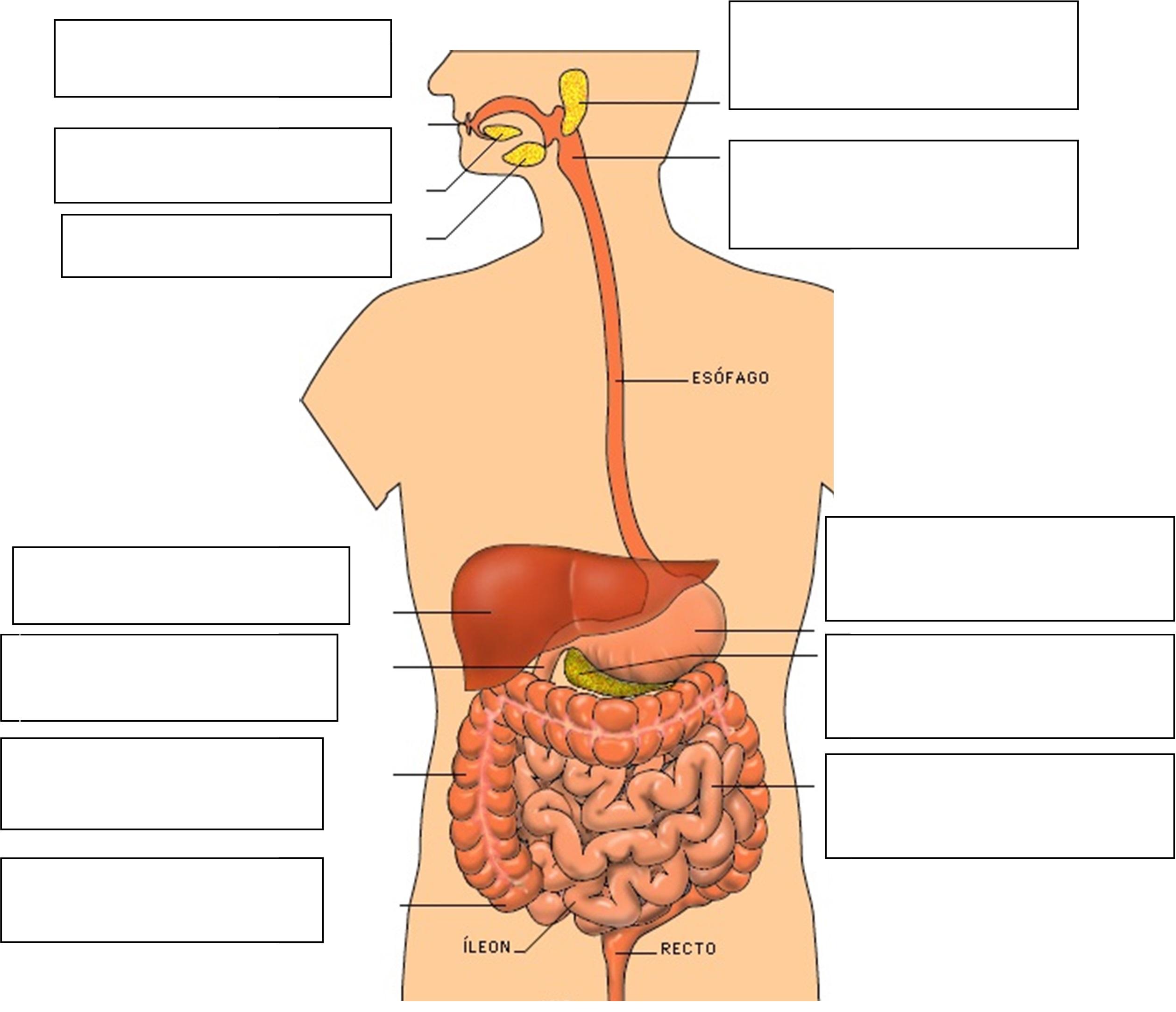 Los órganos sus estructuras y funciones - Ciencias Naturales ...
